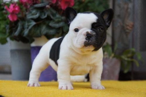 フレンチブルドッグの子犬(ID:1236411066)の2枚目の写真/更新日:2018-04-12