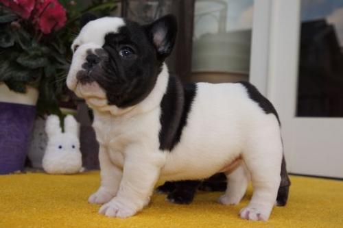 フレンチブルドッグの子犬(ID:1236411066)の3枚目の写真/更新日:2018-04-12