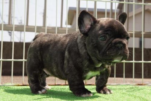 フレンチブルドッグの子犬(ID:1236411067)の2枚目の写真/更新日:2018-04-12