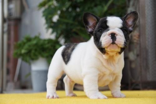 フレンチブルドッグの子犬(ID:1236411070)の1枚目の写真/更新日:2018-06-03