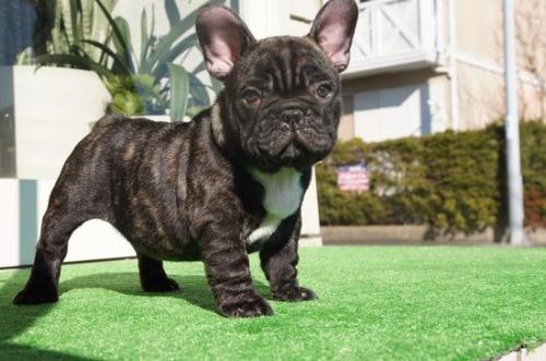 フレンチブルドッグの子犬(ID:1236411082)の1枚目の写真/更新日:2020-01-20