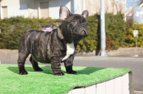 フレンチブルドッグの子犬(ID:1236411082)の2枚目の写真/更新日:2020-01-20