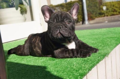 フレンチブルドッグの子犬(ID:1236411082)の3枚目の写真/更新日:2020-01-20