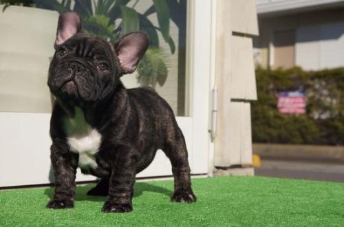 フレンチブルドッグの子犬(ID:1236411082)の4枚目の写真/更新日:2020-01-20