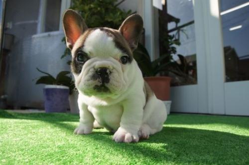 フレンチブルドッグの子犬(ID:1236411083)の2枚目の写真/更新日:2020-01-20