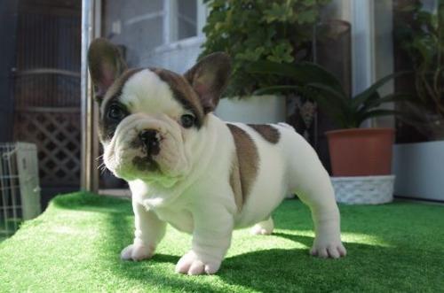フレンチブルドッグの子犬(ID:1236411083)の3枚目の写真/更新日:2020-01-20