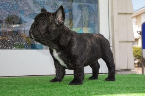 フレンチブルドッグの子犬(ID:1236411084)の2枚目の写真/更新日:2020-03-25