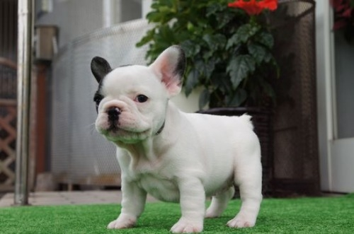 フレンチブルドッグの子犬(ID:1236411086)の3枚目の写真/更新日:2020-06-28