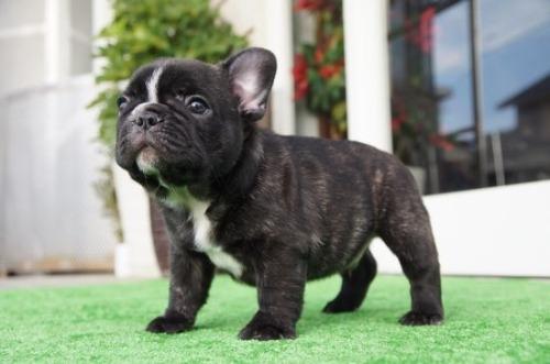 フレンチブルドッグの子犬(ID:1236411087)の2枚目の写真/更新日:2020-06-28
