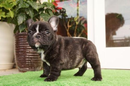 フレンチブルドッグの子犬(ID:1236411087)の3枚目の写真/更新日:2020-06-28