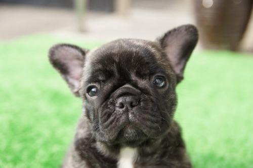 フレンチブルドッグの子犬(ID:1236411088)の2枚目の写真/更新日:2020-06-28