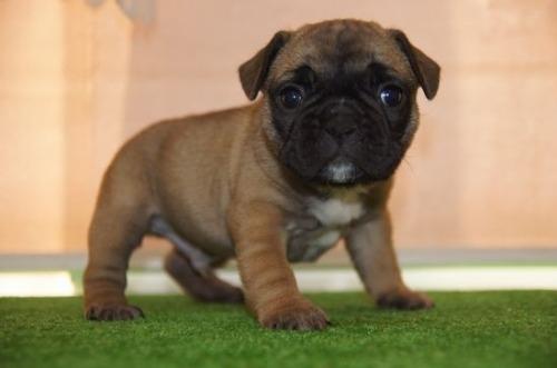 フレンチブルドッグの子犬(ID:1236411091)の2枚目の写真/更新日:2021-01-01