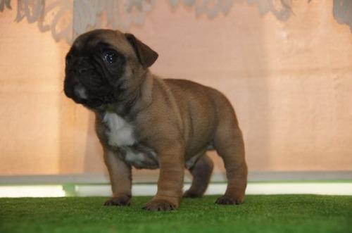 フレンチブルドッグの子犬(ID:1236411091)の4枚目の写真/更新日:2021-01-01