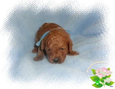 トイプードルの子犬(ID:1236511030)の1枚目の写真/更新日:2017-06-14