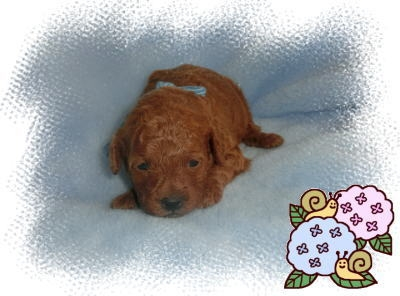 トイプードルの子犬(ID:1236511030)の2枚目の写真/更新日:2017-06-14