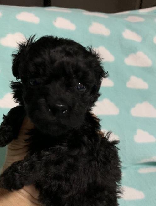 トイプードルの子犬(ID:1236711003)の1枚目の写真/更新日:2018-09-10
