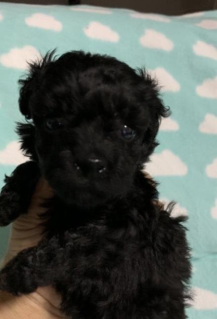 トイプードルの子犬(ID:1236711003)の3枚目の写真/更新日:2019-09-09