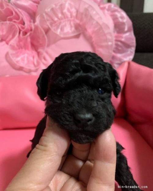 トイプードルの子犬(ID:1236711006)の1枚目の写真/更新日:2018-12-30