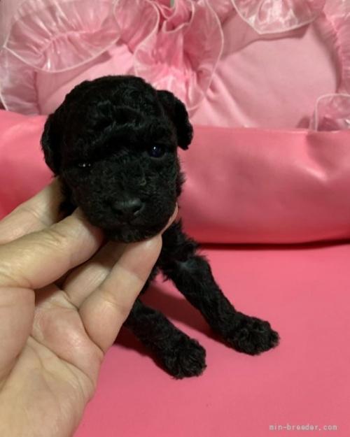 トイプードルの子犬(ID:1236711006)の2枚目の写真/更新日:2018-12-30