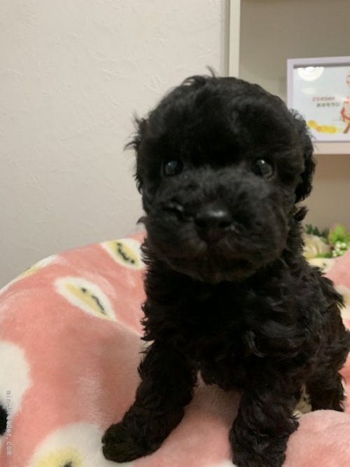 トイプードルの子犬(ID:1236711007)の1枚目の写真/更新日:2020-08-31