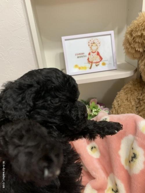 トイプードルの子犬(ID:1236711007)の2枚目の写真/更新日:2020-08-31