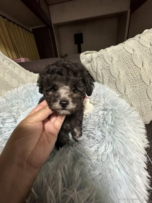トイプードルの子犬(ID:1236711008)の2枚目の写真/更新日:2018-05-14