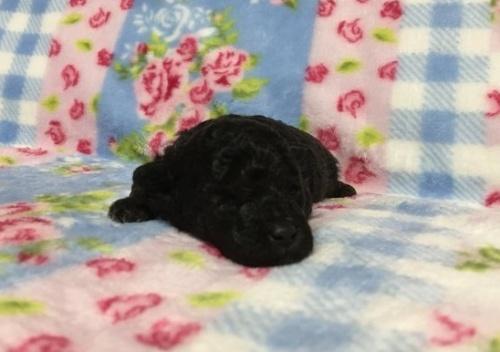 トイプードルの子犬(ID:1236711010)の1枚目の写真/更新日:2018-09-12