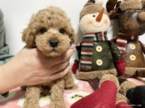 トイプードルの子犬(ID:1236711011)の2枚目の写真/更新日:2018-09-12