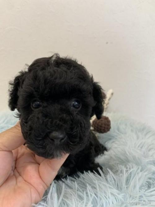 トイプードルの子犬(ID:1236711014)の2枚目の写真/更新日:2021-05-12