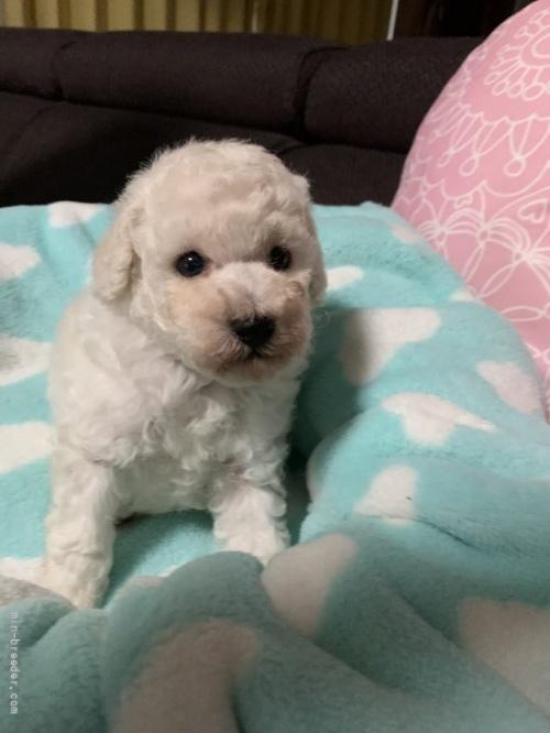 トイプードルの子犬(ID:1236711015)の1枚目の写真/更新日:2021-07-31