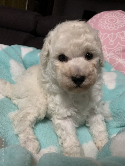 トイプードルの子犬(ID:1236711015)の2枚目の写真/更新日:2021-07-31