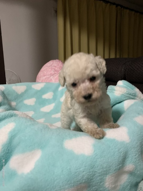 トイプードルの子犬(ID:1236711016)の1枚目の写真/更新日:2021-08-29
