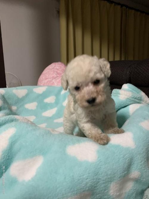 トイプードルの子犬(ID:1236711016)の2枚目の写真/更新日:2021-08-29