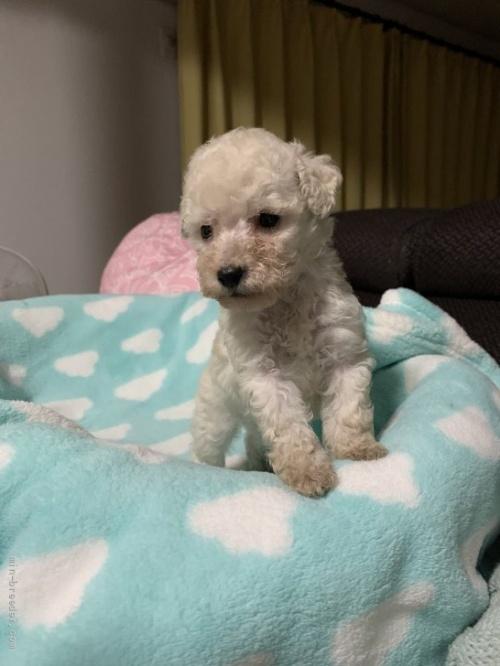 トイプードルの子犬(ID:1236711016)の3枚目の写真/更新日:2021-08-29