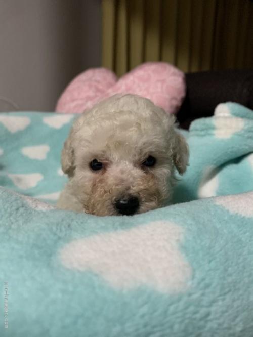 トイプードルの子犬(ID:1236711017)の1枚目の写真/更新日:2021-08-29