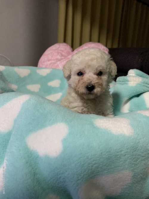 トイプードルの子犬(ID:1236711017)の3枚目の写真/更新日:2021-08-29