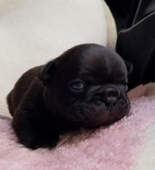フレンチブルドッグの子犬(ID:1237111012)の4枚目の写真/更新日:2018-11-09