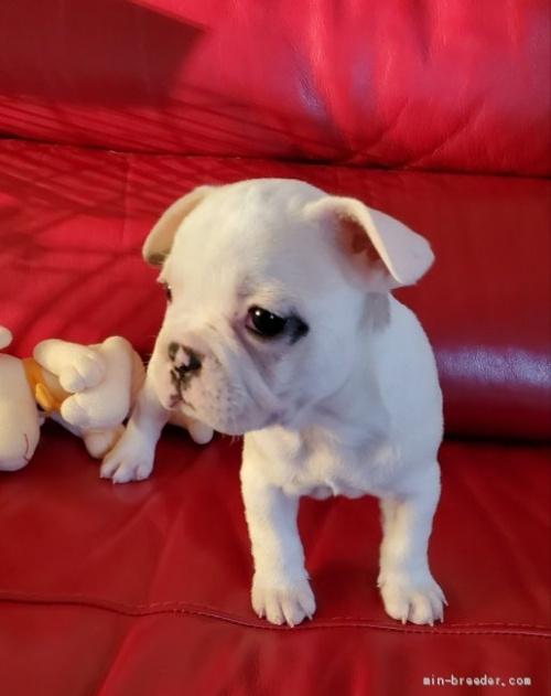 フレンチブルドッグの子犬(ID:1237111024)の2枚目の写真/更新日:2018-06-05