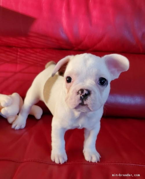 フレンチブルドッグの子犬(ID:1237111024)の4枚目の写真/更新日:2018-08-12