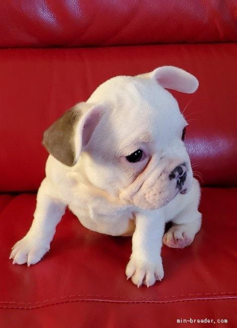 フレンチブルドッグの子犬(ID:1237111024)の5枚目の写真/更新日:2018-08-12