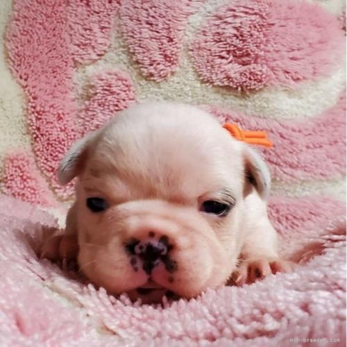 フレンチブルドッグの子犬(ID:1237111026)の1枚目の写真/更新日:2018-08-03