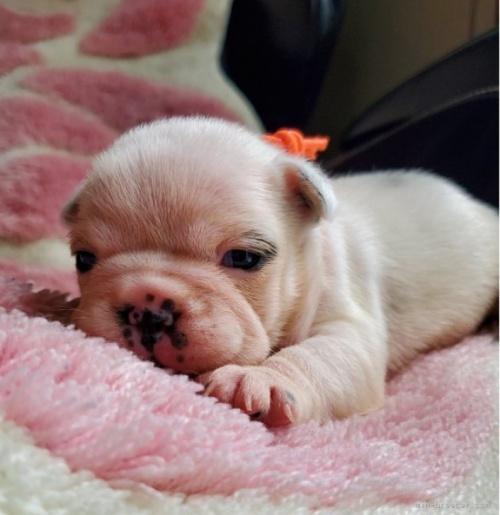 フレンチブルドッグの子犬(ID:1237111026)の2枚目の写真/更新日:2018-08-03