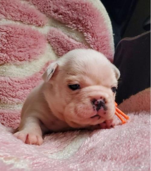 フレンチブルドッグの子犬(ID:1237111026)の3枚目の写真/更新日:2018-08-03