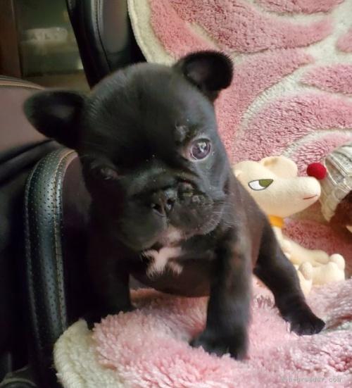 フレンチブルドッグの子犬(ID:1237111027)の1枚目の写真/更新日:2019-06-10