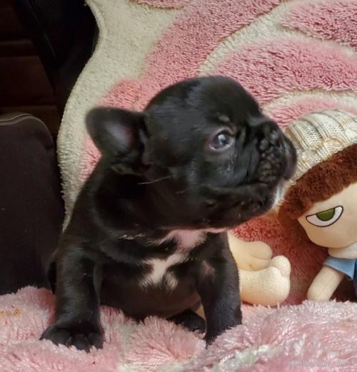 フレンチブルドッグの子犬(ID:1237111027)の2枚目の写真/更新日:2019-06-10