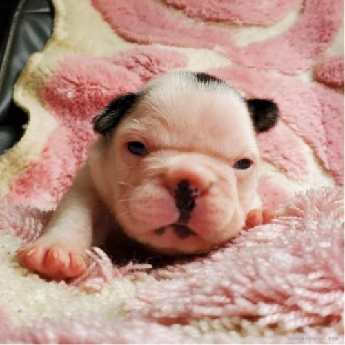 フレンチブルドッグの子犬(ID:1237111028)の1枚目の写真/更新日:2021-04-05