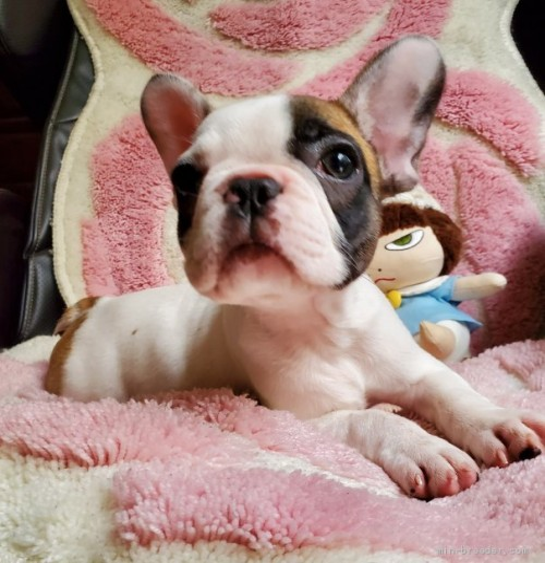 フレンチブルドッグの子犬(ID:1237111028)の4枚目の写真/更新日:2018-08-03