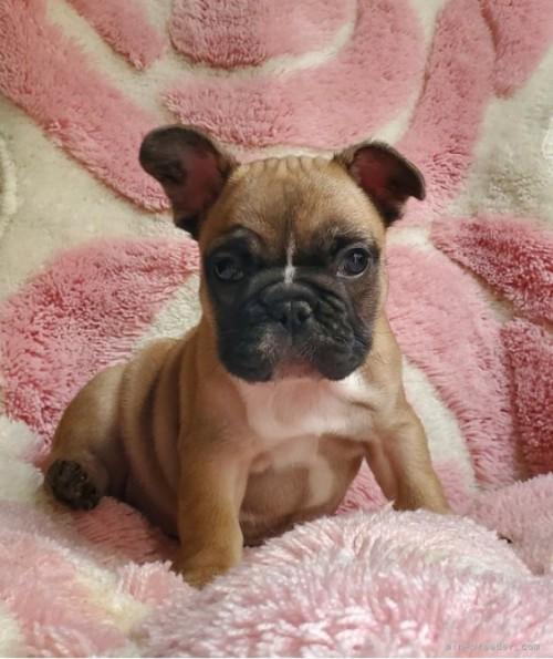 フレンチブルドッグの子犬(ID:1237111032)の2枚目の写真/更新日:2021-10-14