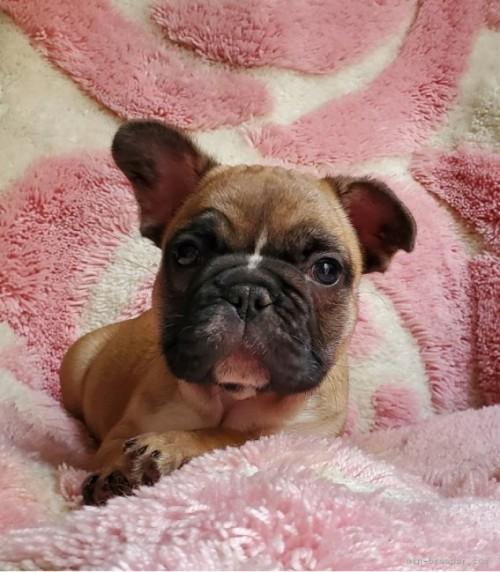 フレンチブルドッグの子犬(ID:1237111032)の5枚目の写真/更新日:2021-10-14