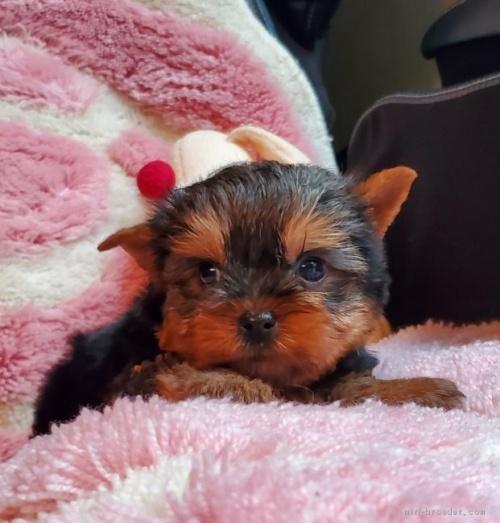 ヨークシャーテリアの子犬(ID:1237111034)の1枚目の写真/更新日:2020-07-30